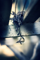 Flying South (koinis) Tags: blue macro bird john dead skeleton death skull flying dof bokeh head south sigma down explore 24mm 18 tones upside koinis