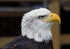 American Bald Headed Eagle (Helen Beresford) Tags: bird eagle beak feathers birdofprey warwickcastle mywinners americanbaldheadedeagle