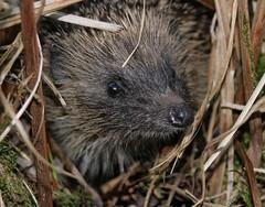 Toby 2 (debzlucy) Tags: nature wildlife hedgehog thechallengegame challengegamewinner friendlychallengewinner vosplusbellesphotos