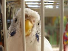 IMG_3210 (glower_worm) Tags: pets bird budgie cockatiel