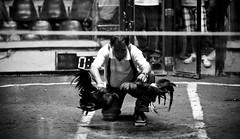 COCKFIGHT (10) (Peter_O'Driscoll) Tags: gambling game spur fight fighter attack culture cockpit clash peter coliseum rooster tradition breed combat gamble betting bet cultural gladiator manok gamecock gambler gallera sabong wager bloodsport cockfighting odriscoll stamina warrier panay gamefowl hahnenkampf cityoflove iloilocity combatdecoqs rinhadegalo bulang 鬥雞 colseum sagupaan đágà combattimentodigalli bulangan pasampok 闘鶏 닭싸움 riñadegallos петушиныебои ตีไก่ sabonero manoktukaan peterodriscoll