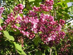 Se abren las lilas! (esta_ahi) Tags: barcelona pink espaa flores spain lilac lilas peneds syringavulgaris oleaceae  fontrub cultivadas