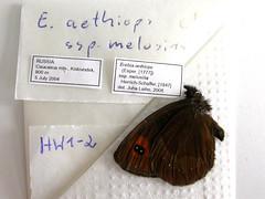 Erebia aethiops