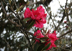 Singalila - The Gurash Trail (Monsoon Lover) Tags: nepal india flower nature flickr rhododendron darjeeling sandakphu exoticflower singalila sudipguharay singalilanationalpark highaltitudeflora 3636mt gurash laligurash sandakpho gurashtrail sandakphutrail