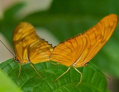 Tango (Michael Andrassi) Tags: canada macro nature butterfly nikon quebec d200 dryasjulia diamondclassphotographer flickrdiamond theunforgettablepictures michaelandrassi mikeya mmmikey2007 105mmf28microvr theperfectphotographer