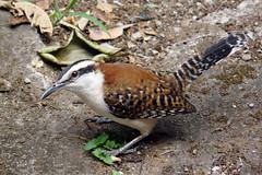 Rufous-naped Wren (Macaw-frey) Tags: bird costarica ave pajaro heredia rufousnapedwren campylorhynchusrufinucha featheryfriday thewonderfulworldofbirds chicopiojo