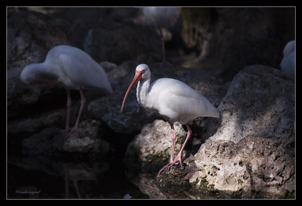 ibis3