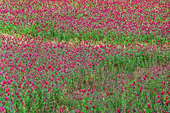 Clover Field in Georgia (JamesWatkins) Tags: flowers red plants usa abstract green colors georgia spring flora poetry unitedstates abstractart south unitedstatesofamerica digitalart creative farmland writers fields grasses thesouth poems clover hdr springflowers poets colorsofspring redandgreen d300 sigma1020mm creativewriting greenfields springcolors springfields mcdonoughgeorgia alittlehdr the4elements flowersofthefield jameswatkins photographyasart artofphotography poemsandphotographs creativewords flickrlovers fieldsofclover panoramafotogrfico cloverfields poemsandpoets poetsandpoetry georgiaflowers georgiaflora seunitedstates abstractartandphotography georgiafields photographsandpoetry