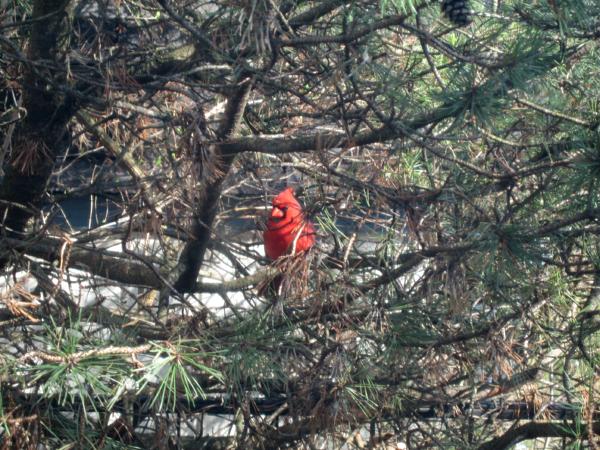 CardinalPine