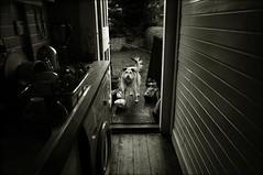 Rudie can't fail (Mayastar) Tags: dog house kitchen ball scotland friend rudy backgarden thelittledoglaughed rudiecantfail mayastar heneverstops canichegiocanoincessantemente