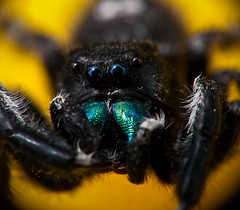 Red Fang Phidippus Bold Jumping Spider - Explored (J.K. Hering Photography) Tags: red hairy black macro yellow spider jumping eyes explore fang jumpingspider phidippus reversemacro salticidae chelicera