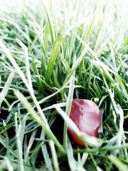 Strawberry Fields Forever (thburningiraffe) Tags: red green grass strawberry thebeatles fruitsnacks notchristmas fruitysnacks omnomnom lightfreedomyayifinishedmyaptestitwasntreallythatbadnowihavetimedvivalalibertad