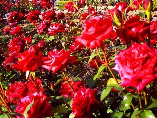 霊山寺「バラ庭園」トイカメラ-09