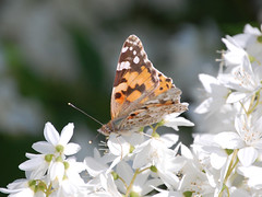 Painted Lady (Vanessa cardui) (fisherbray) Tags: butterfly germany deutschland kaiserslautern schmetterlinge paintedlady rheinlandpfalz vanessacardui kmc distelfalter vogelweh fisherbray