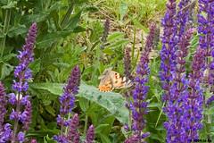 L'envol de la Belle dame (Le No) Tags: butterfly papillon 31 vanessacardui nymphalidae hautegaronne midipyrnes stlon lauragais belledame