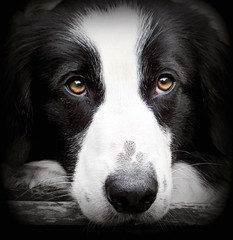 Big Brown Eyes (meg price) Tags: dog pet eyes collie sheepdog border stare bordercollie barney thelittledoglaughed theunforgettablepictures thesuperbmasterpiece magicunicornverybest