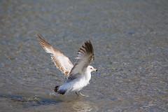 Seagull (kenyaya) Tags: seagulls lake toronto ontario canada bird beach nature birds canon rebel fly seagull woodbine xs coxwell ashbridge 1000d