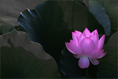 Lotus Flower - IMG_9656-des (Bahman Farzad) Tags: flower macro yoga peace lotus relaxing peaceful meditation therapy lotusflower lotusflowers lotuspetal lotuspetals lotusflowerpetals lotusflowerpetal