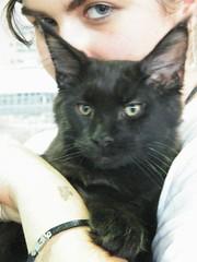 Thank you! (Sabrina ) Tags: cute animal cat blackcat kitten feline sweet kitty mainecoon felino gatto mco micio blueyes gattino littlecat gattonero catslover zicecoon