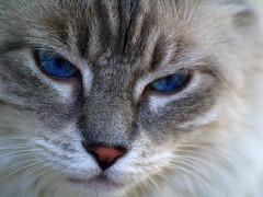 Little White Face (joecrowaz) Tags: cats pets macro face animals eyes supershot mywinners abigfave kissablekat bestofcats portraits kittyschoice catmoments vosplusbellesphotos alittlebeauty oscarsurrealleous boc0709