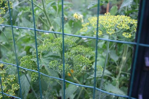 rainy garden dill