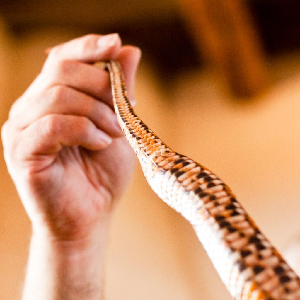 Non-native Corn Snake
