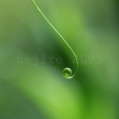 a study of Gloriosa rothschildiana [7] (_nejire_) Tags: green leaf 8 minimal explore simplicity curl simple fp frontpage gloriosa naturesfinest 820pm 50faves 10faves 40faves 60faves 70faves tamronspaf90mmf28dimacro11 25faves gloriosarothschildiana canoneos400d fave10 645pm no370 fave50 fave25 fave40 fave60 fave70 12954723g8am