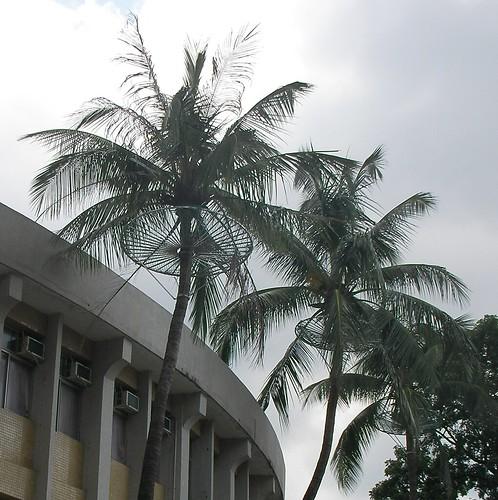 屏教大椰子樹-2.JPG