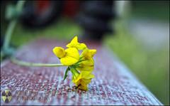 Onto an old bench... (Sebastian Condrea) Tags: park flowers red black flower macro green up yellow closeup digital canon bench eos rebel close sebastian romania transylvania phtography mures targu xti 400d condrea