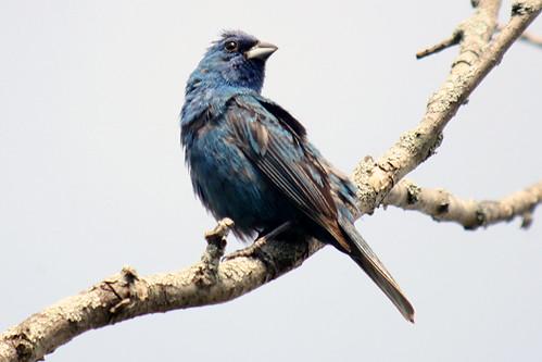 Indigo Bunting (male)