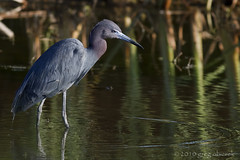 Little Blue Heron (greg obierek) Tags: blue heron nature canon wildlife naturallight 7d delaware littleblueheron egrettacaerulea ef400mmf56l caerulean eos7d
