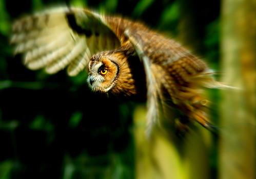 [フリー画像] 動物, 鳥類, フクロウ, トラフズク, 201105240500