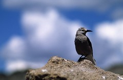 Clark's Nutcracker (Proteus_XYZ) Tags: statepark arizona usa birds utah nationalpark colorado northamerica vögel rockymountainnationalpark clarksnutcracker nussknacker vereinigtestaaten nordamerika