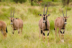 Top contenders for the body painting competition (Mark Jenner) Tags: africa kenya antelope samburu oryx beisaoryx