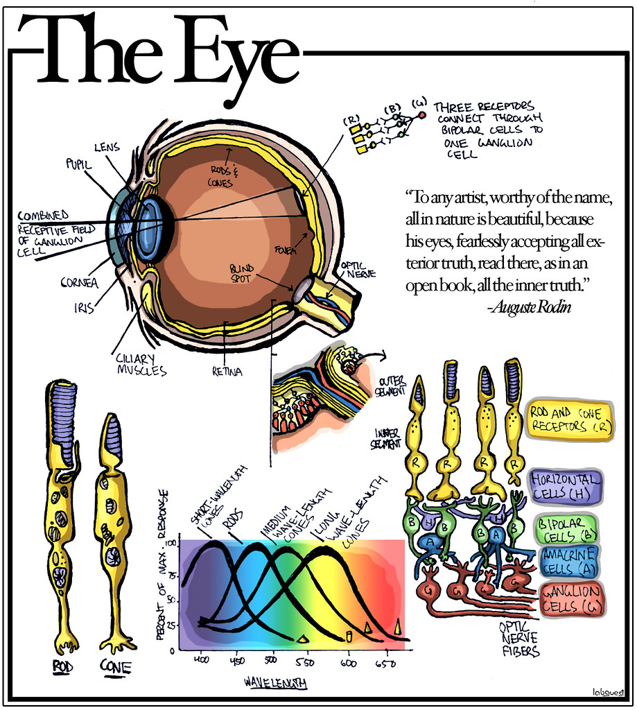 The Worlds Best Photos By Labguest Flickr Hive Mind Simple Eye Diagram Tags Sight Rods Cones Tpc Scientificdiagram Tpcu14 Tpcu14l6