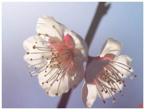 Japanese Apricot 090303 #02