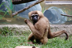 "灰長臂猿  Grey gibbon (ddsnet) Tags: animals zoo sony hsinchu taiwan 台灣 新竹 900 動物 zoo"" 動物園 α 新竹動物園 hsinchuzoo α900 ""hsinchu"