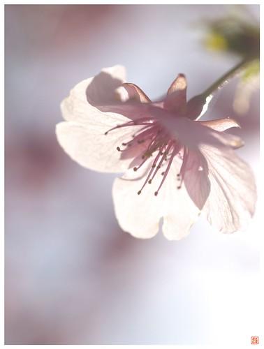 Cherry blossoms 090305 #09