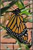 Monarch butterfly (Chook with the looks) Tags: newzealand nikon blenheim manfrotto monarchbutterfly d300 nikkor60mmmacro pfogold