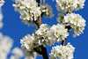 Welcome Spring! // Bienvenida Primavera! (Jesus Solana Poegraphy) Tags: blue sky white tree primavera blanco azul del cherry photography spring spain nikon europe photos valle cielo welcome bienvenidos jerte extremadura cerezas cerezos d80 aplusphoto pasotraspaso jesussolana