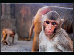 on the road to Jaipur (lorytravelforever) Tags: road india monkey eyes bravo expression jaipur rajasthan aplusphoto lavrannodataalui
