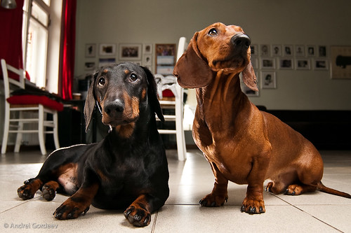 My Dachshunds Nikanor and Fedya