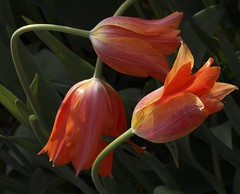 Tulip Dance (TPorter2006) Tags: flowers orange march dallas dance interestingness interesting texas tulips grandmother medal explore tulip hero winner 300views halloffame simple ultra 2009 hof pinnacle peachy dallasblooms bigmomma explored pfogold tporter2006 dallasbloomsflowersdamflickrmeetup herowinner motmjun09 ultraherowinner thepinnaclehof 1galleries tphofweek63 enteredpinnaclesept2010