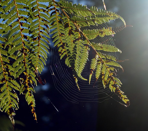 Ferns and spider web - in the kiwi bush