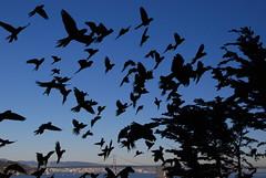 San Francisco Wild Parrots (Jill's Snap Shots) Tags: sanfrancisco wild bird san francisco masked parrots headed franciscos flightred photocontesttnc09 parrotsbirdsparrotsconuresavianfeathersflyingwingsbeaksin parakeetcherry conureflying