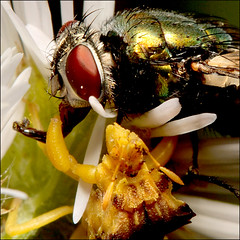 ~ Attack ~ (ViaMoi) Tags: hairy canada macro insect fly ottawa attack tamron 90mm soe ambush grasp lensreversal digitalcameraclub abigfave macrolife viamoi goldstaraward 100commentgroup