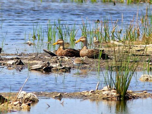 Mottled Ducks Killdeer 20090401