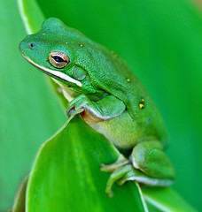 Life on a Leaf (Jeff Clow) Tags: macro nature garden searchthebest amphibian frog dfw greenfrog barkingtreefrog specanimal jeffrclow