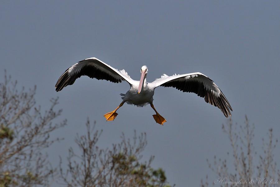 American White Pelican 04091