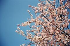 cherry mon cheri (angie.star) Tags: pink blue trees sky film japan spring nikon branches blossoms   sakura cherryblossoms f80  nara     nikonf80